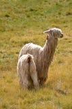 Bemuttern Sie Lama mit einem Schätzchen auf einem Gras Lizenzfreie Stockfotos