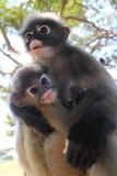 Bemuttern Sie Langur-Primas-Affen mit dem Knaben und die Umgebungen auf Freund und Feind scannen Lizenzfreie Stockfotos