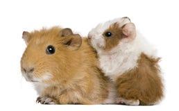 Bemuttern Sie Meerschweinchen und ihr Schätzchen lizenzfreie stockbilder