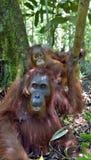 Bemuttern Sie Orang-Utan und Junges in einem natürlichen Lebensraum Lizenzfreie Stockbilder