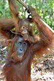 Bemuttern Sie Orang-Utan und Junges in einem natürlichen Lebensraum Lizenzfreies Stockfoto