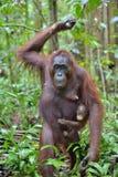 Bemuttern Sie Orang-Utan und Junges in einem natürlichen Lebensraum Lizenzfreie Stockfotografie
