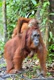 Bemuttern Sie Orang-Utan und Junges in einem natürlichen Lebensraum Lizenzfreies Stockbild