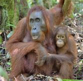 Bemuttern Sie Orang-Utan und Junges in einem natürlichen Lebensraum Stockfotografie