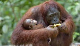 Bemuttern Sie Orang-Utan und Junges in einem natürlichen Lebensraum Stockfoto