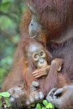 Bemuttern Sie Orang-Utan und Junges in einem natürlichen Lebensraum Bornean Orang-Utan Lizenzfreie Stockfotografie