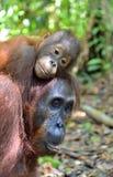 Bemuttern Sie Orang-Utan und Junges in einem natürlichen Lebensraum Bornean-Orang-Utan Pongo pygmaeus wurmbii in der wilden Natur Lizenzfreie Stockbilder