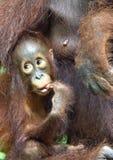 Bemuttern Sie Orang-Utan und Junges in einem natürlichen Lebensraum Bornean-Orang-Utan Pongo pygmaeus wurmbii in der wilden Natur Stockbild