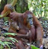 Bemuttern Sie Orang-Utan und Junges in einem natürlichen Lebensraum Bornean-Orang-Utan Pongo pygmaeus wurmbii in der wilden Natur Lizenzfreie Stockfotos