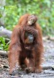 Bemuttern Sie Orang-Utan und Junges in einem natürlichen Lebensraum Bornean-Orang-Utan Pongo pygmaeus wurmbii in der wilden Natur Lizenzfreies Stockfoto