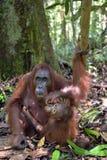 Bemuttern Sie Orang-Utan und Junges in einem natürlichen Lebensraum Bornean-Orang-Utan Pongo pygmaeus wurmmbii in der wilden Natu Lizenzfreie Stockfotos