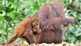 Bemuttern Sie Orang-Utan und Junges in einem natürlichen Lebensraum Bornean-Orang-Utan Pongo pygmaeus wurmmbii in der wilden Natu Lizenzfreie Stockbilder