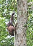 Bemuttern Sie Orang-Utan und Junges in einem natürlichen Lebensraum Bornean-Orang-Utan Pongo pygmaeus wurmmbii in der wilden Natu Lizenzfreies Stockbild