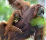 Bemuttern Sie Orang-Utan und Junges in einem natürlichen Lebensraum Bornean-Orang-Utan Pongo pygmaeus wurmmbii in der wilden Natu Lizenzfreies Stockfoto