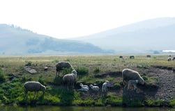 Bemuttern Sie Schafe mit ihren Lämmern nahe dem Wasser lizenzfreies stockbild