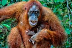 Bemuttern Sie Sumatran-Orang-Utan mit dem Baby, das ihre Zähne mit Ärger zeigt Stockbilder