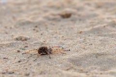 Bemuttern Sie Wolfspinne oder Lycosa singoriensis mit vielen Babys auf ihr zurück Stockfotos