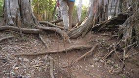 Ben av det turist- momentet över det enormt rotar av träd i skogen arkivfilmer