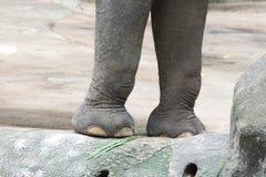 Ben av en asiatisk elefant Asiatisk elefant ett mycket enormt djur Royaltyfri Fotografi