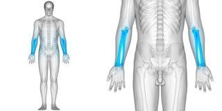 Ben för radie och för armbågsben för anatomi för gemensam plågor för människokroppben stock illustrationer