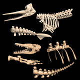 Ben och fragmentskelett av den forntida fisken Arkivfoto