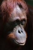 ben orangutan Royaltyfri Foto