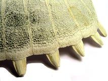 bena ur skalsköldpaddan royaltyfri fotografi