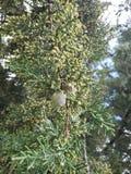 benadering van een tak met zaden van een een een eucalyptusboom, achtergrond en textuur royalty-vrije stock foto's