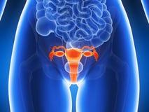 Benadrukte baarmoeder Stock Afbeeldingen