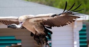 BENALMADENA, ANDALUCIA/SPAIN - 7 JUILLET : Condor andin juvénile photos libres de droits