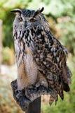 BENALMADENA, ANDALUCIA/SPAIN - 7 JULI: Europees-Aziatisch Eagle-Owl Bubo stock afbeeldingen