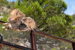 BENALMADENA, ANDALUCIA/SPAIN - 7 JULI: Europees-Aziatisch Eagle-Owl Bubo stock afbeelding