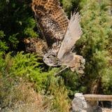 BENALMADENA, ANDALUCIA/SPAIN - 7 JULI: Europees-Aziatisch Eagle-Owl Bubo royalty-vrije stock foto's