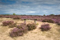 A bench in the blooming heather in the Hoge Veluwe. Stock Photo