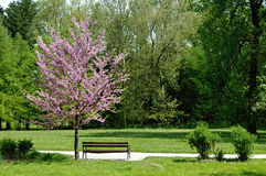Bench and blossoming tree Stock Photo