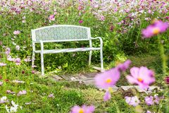 Bench in cosmos flower garden. White wood bench in cosmos flower garden Stock Photos
