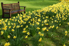 Bench and daffodils Stock Image