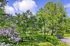 Bench debajo de un árbol y de una lila florecientes de serbal Fotos de archivo