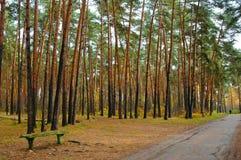 Bench en el camino en el bosque del árbol de pino Imagen de archivo