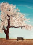 Bench in the field under the sakura tree Royalty Free Stock Image
