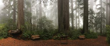 Bench on the foot of tall redwood trees in misty forest. Hiker trail and bench next to giant redwood trees in misty forest of Lady Bird Johnson Grove at Redwood royalty free stock images
