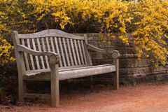 Bench and Forsythia Royalty Free Stock Photo