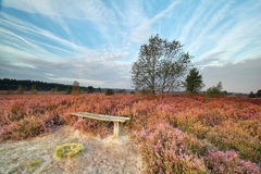Bench among heather flowers in morning Royalty Free Stock Images