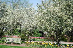 A bench in the middle of tulips and flowering trees. Royalty Free Stock Image