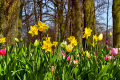 Bench in the park. Group of yellow Narcissus. Royalty Free Stock Image