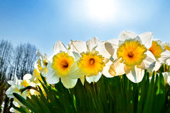 Bench in the park. Group of yellow Narcissus. Stock Photo