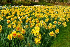 Bench in the park. Group of yellow Narcissus. Stock Photos