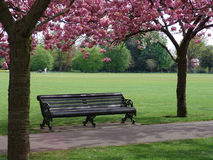 Bench with pink flowering trees. Spring time in Greenwich Royal Park with pink flowering trees and bench by pathway stock photo