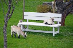 Bench and sheep on a green pasture - flam norway Royalty Free Stock Image