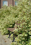"Bench in thickets of bushes of a svidina white, Derain  (Cornus (Swidina) alba L. ""Variegaya"" Royalty Free Stock Image"